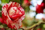 Le camélia, un arbuste pour la décoration des jardins